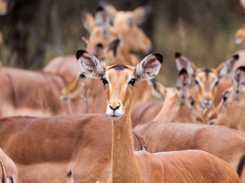 impala at kruger national park