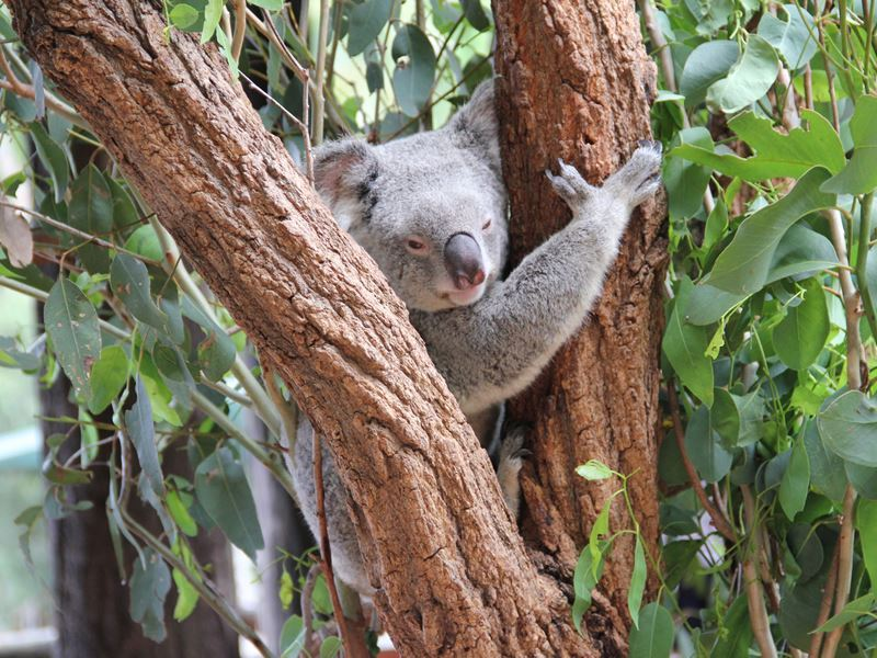 koala in a tree at australia zoo