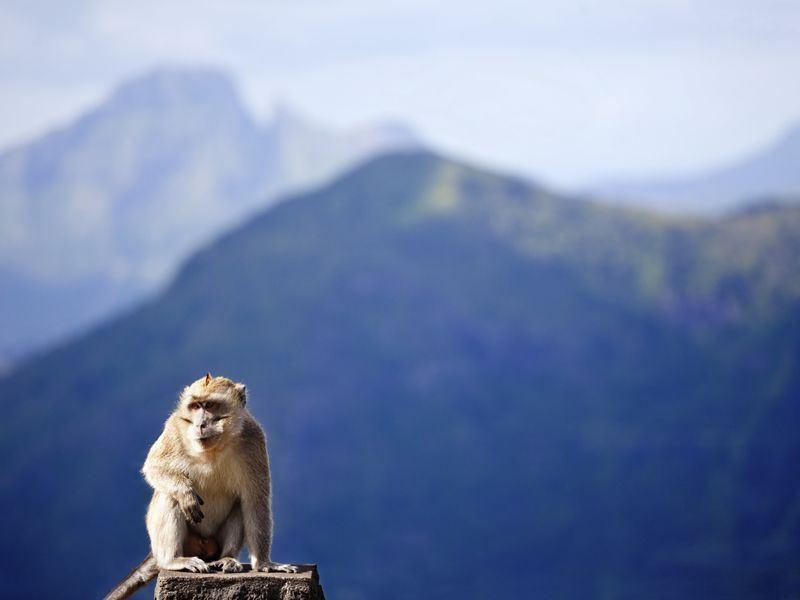 mauritian macaque