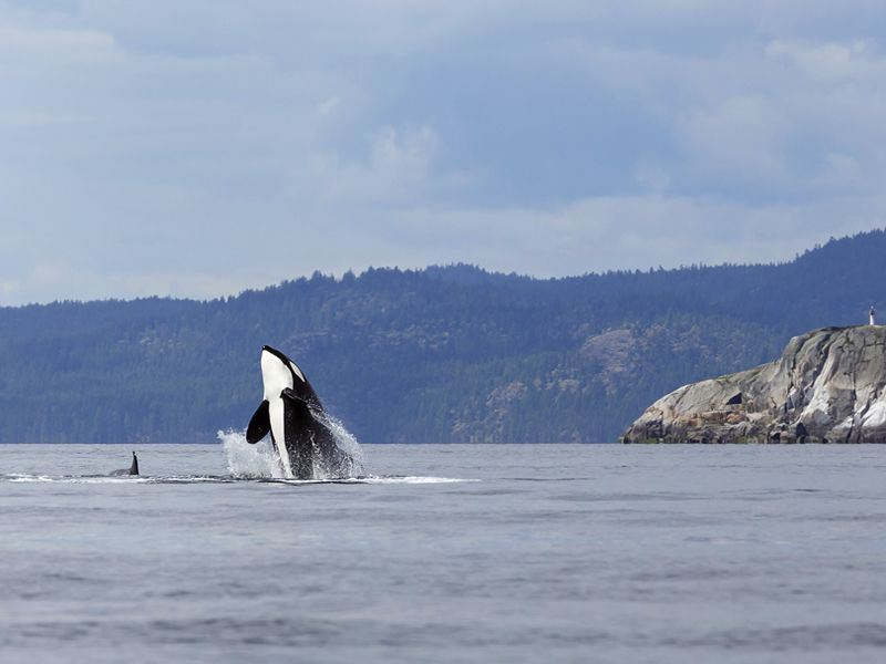 Orca spotting in Lund, near Vancouver