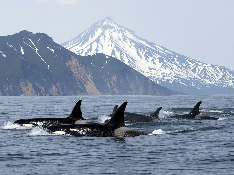 orcas swim by vancouver island