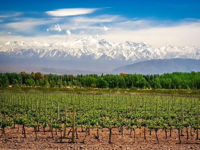 organic vineyard near mendoza in argentina andes background
