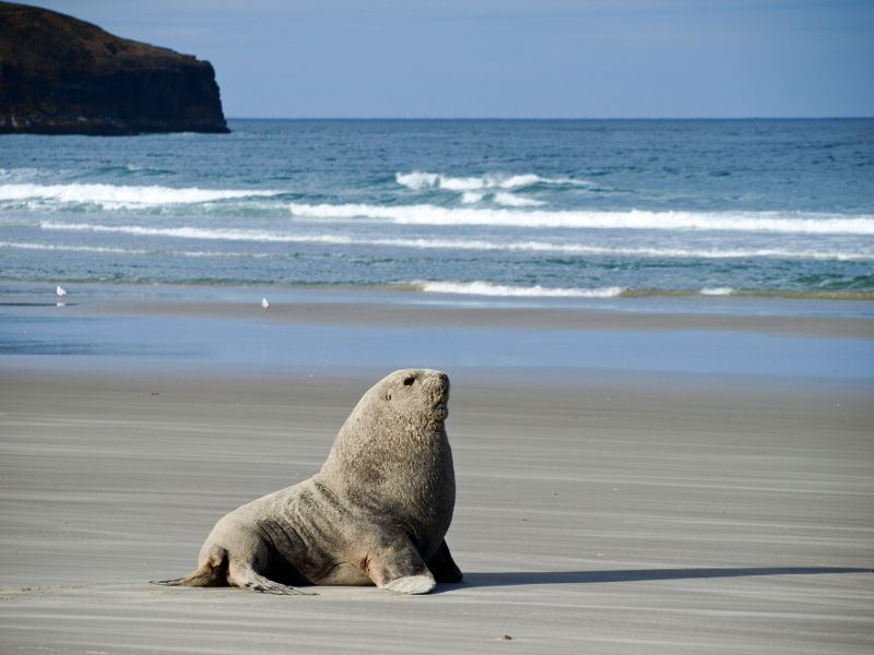sea lion dunedin otago