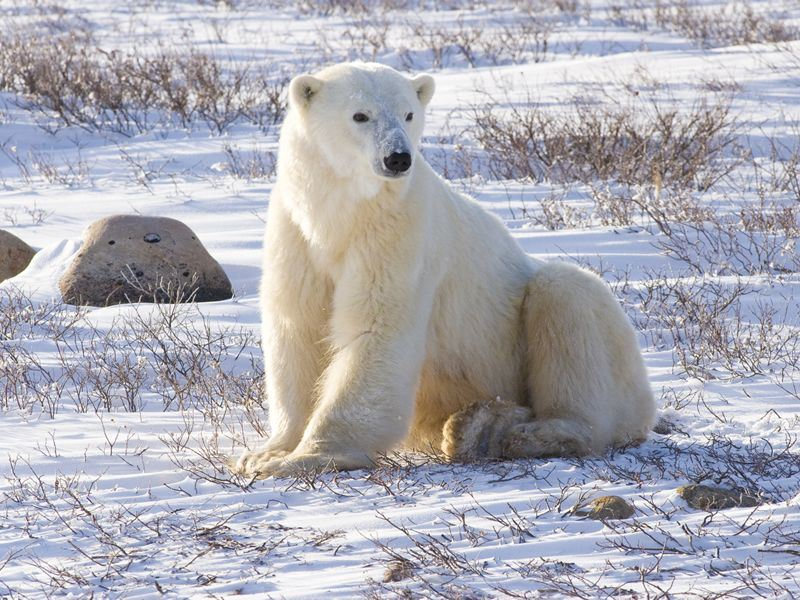 see the polar bears of churchill manitoba