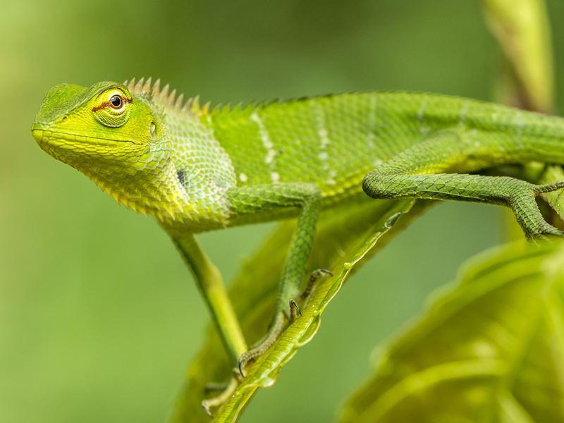 small lizard sinharaja forest reserve sri lanka