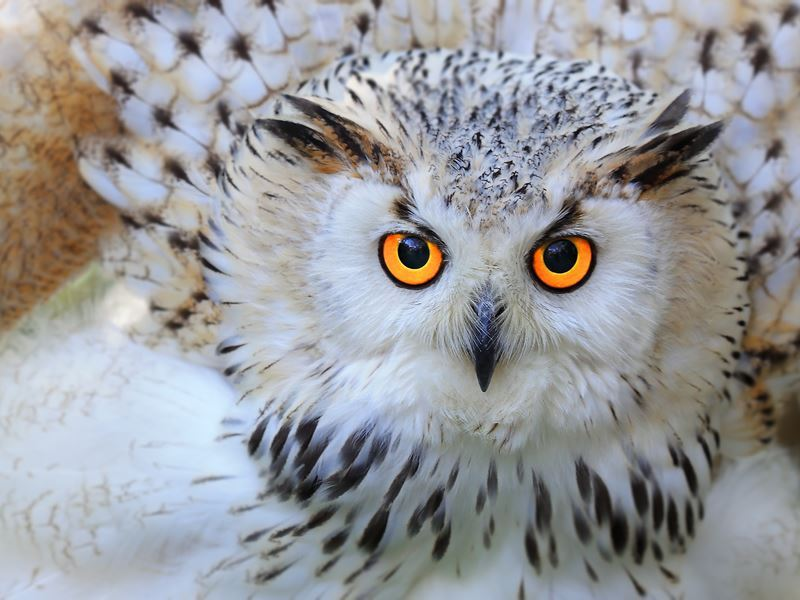 snowy owl provincial bird quebec