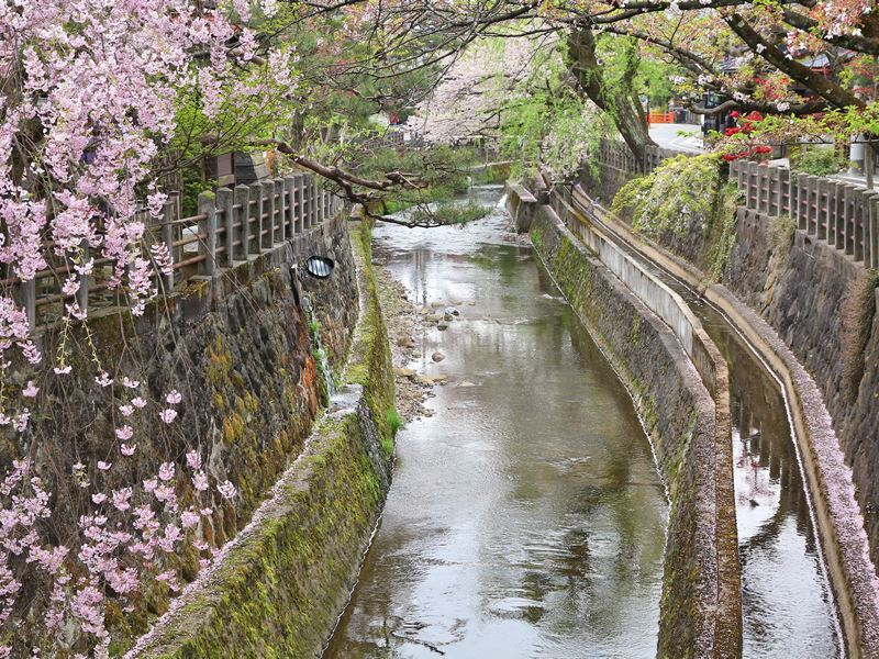 takayama cherry blossom river