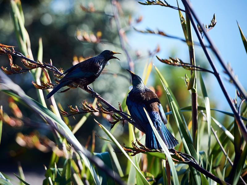 tui bird wildlife new zealand