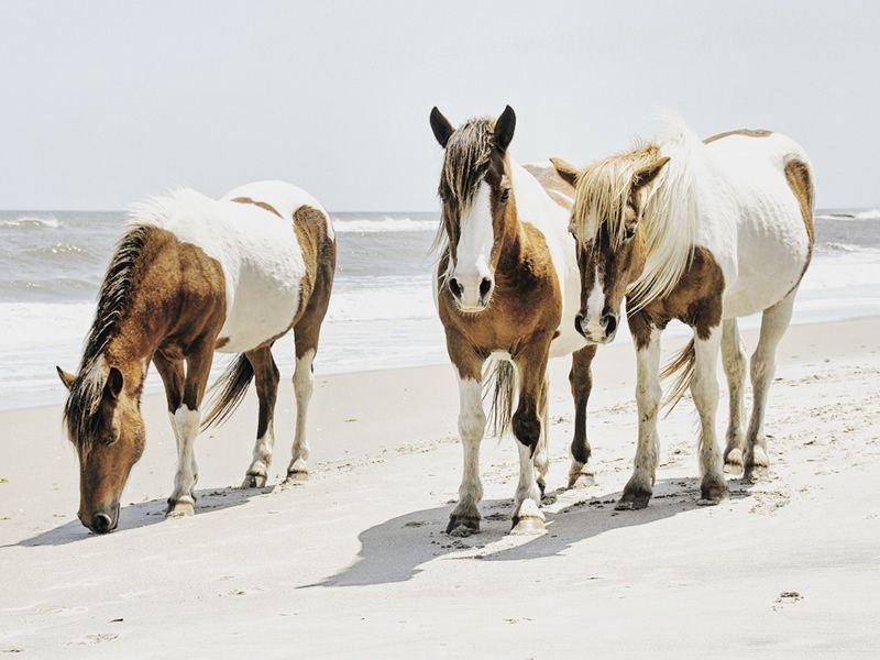 wild horses at chincoteague national wildlife refuge assateague