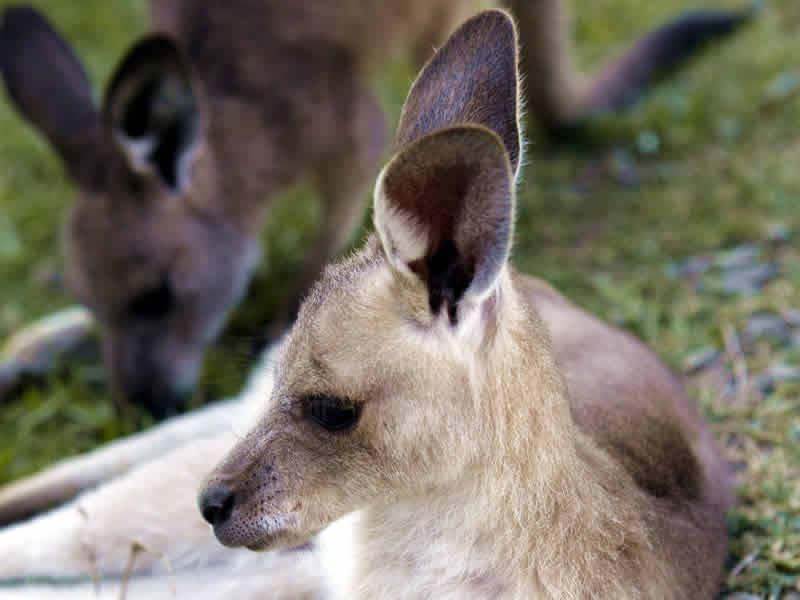 young kangaroo joey australia