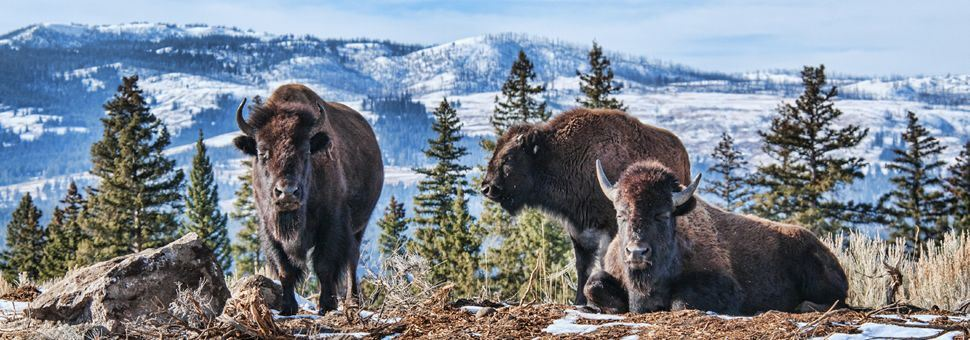 Bison in a wintry Yellowstone