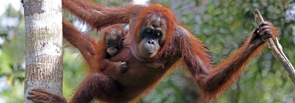 Orangutans of Tanjung Puting National Park, Borneo