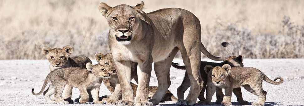 Lioness and cubs, Botswana