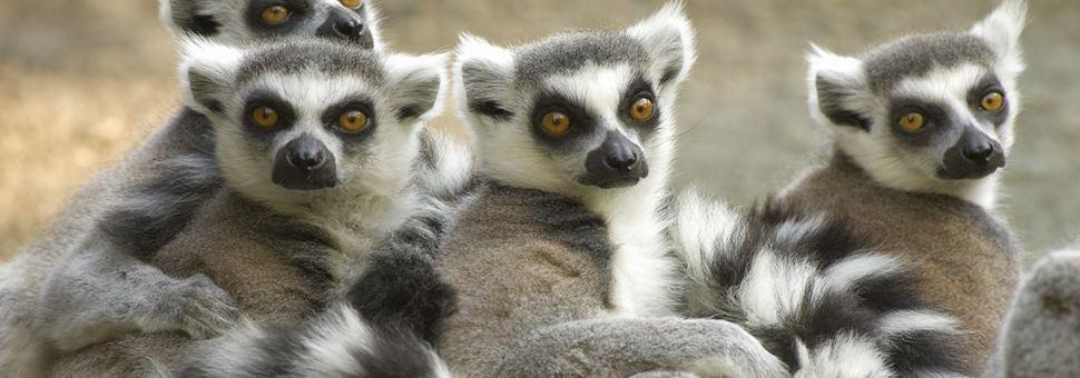 Ring-tailed lemurs of Madagascar
